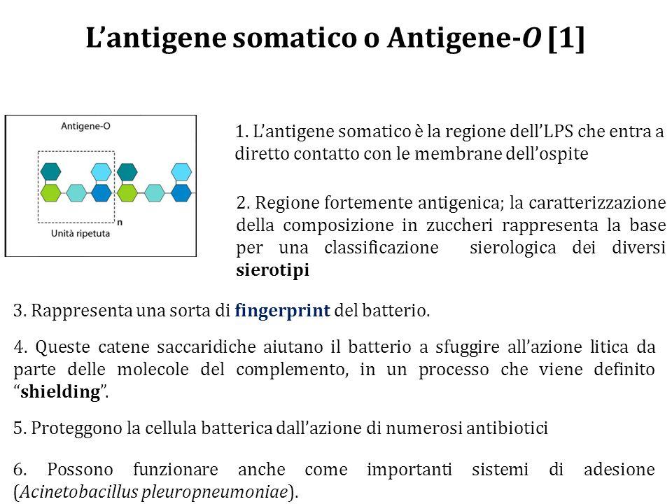 L'antigene somatico o Antigene-O [1]